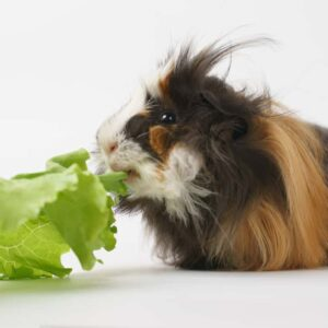 Can Guinea Pigs Eat Romaine Lettuce?