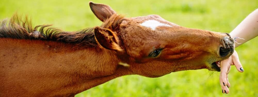 horse biting hand e1590496988510