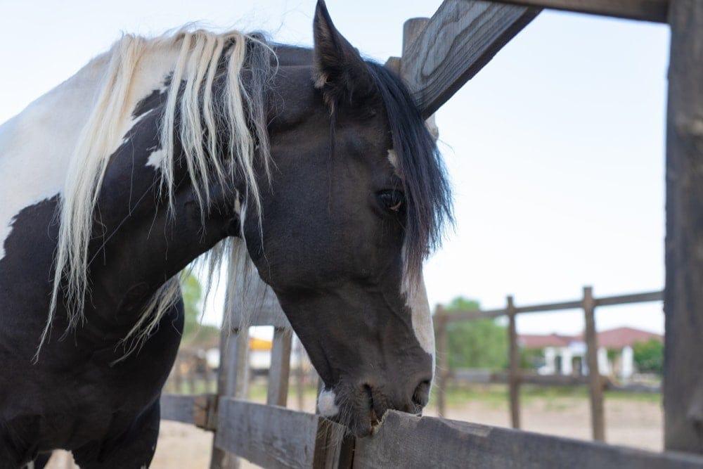 horse eat wood