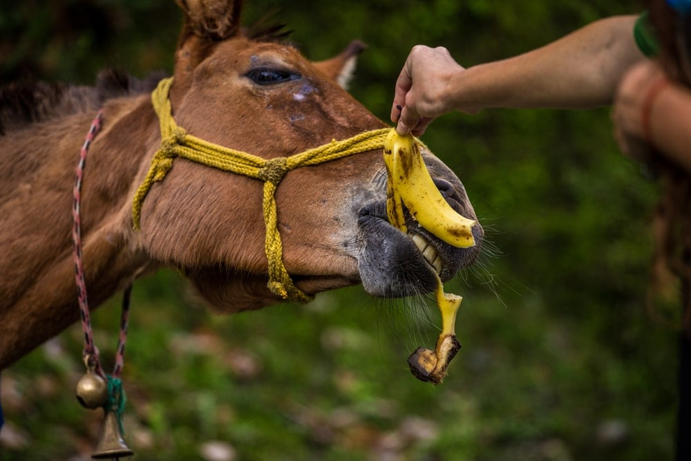 horse eating banana