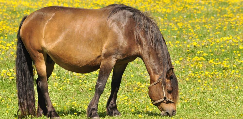 pregnant horse eating e1590246625753