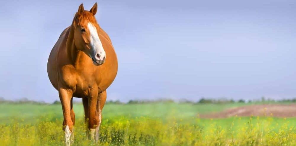 pregnant horse in a field e1590593098698