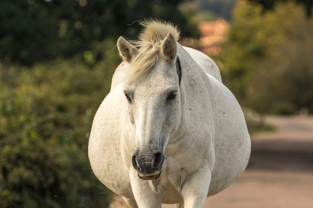 pregnant white horse