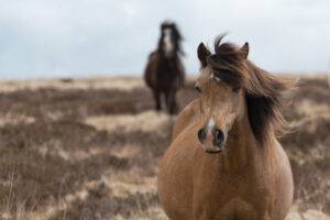 sad brown hairy horse