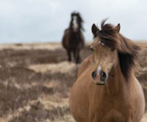 sad brown hairy horse