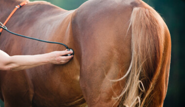 vet checks pregnant horse