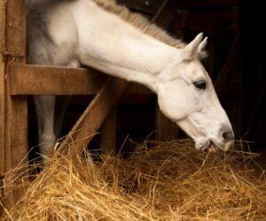 white horse eating hay