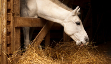 white horse eating hay