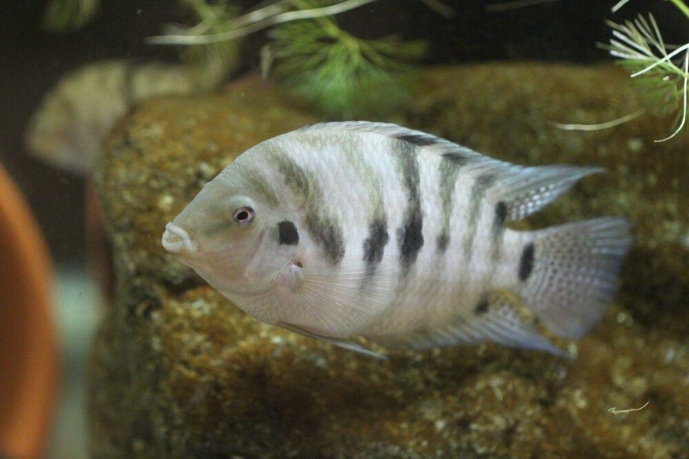 Convict Cichlid in aquarium e1591113202267