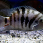 Convict Cichlid Care Guide - Diet, Breeding & More