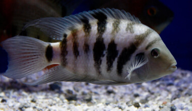 Convict Cichlid in water e1591113193824