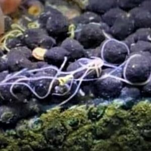 Detritus Worms - What Are They & How to Get Rid of Them