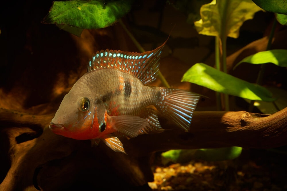 Firemouth Cichlid cute e1591113126618