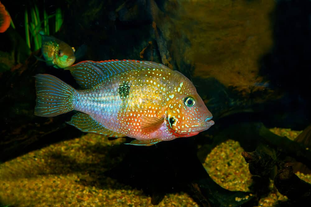 Firemouth Cichlid in aquarium e1591113110151
