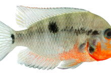 Firemouth Cichlid Care Guide - Diet, Breeding & More