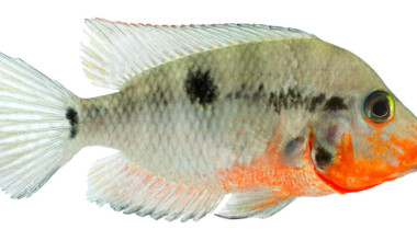 Firemouth Cichlid isolated e1591113135247