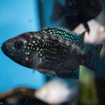 Jack Dempsey Fish Care Guide - Diet, Breeding & More