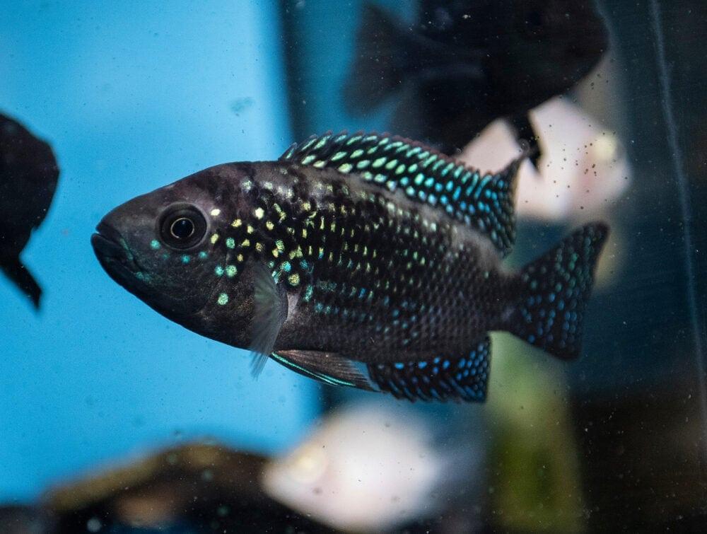 Jack Dempsey Fish blue e1591109500583