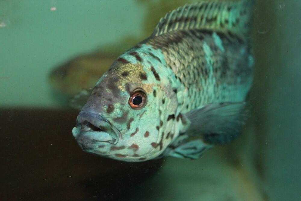 Jack Dempsey Fish portrait e1591109492895