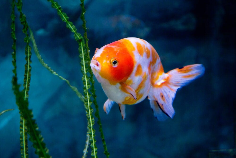 Shubunkin Goldfish highed e1591113145918