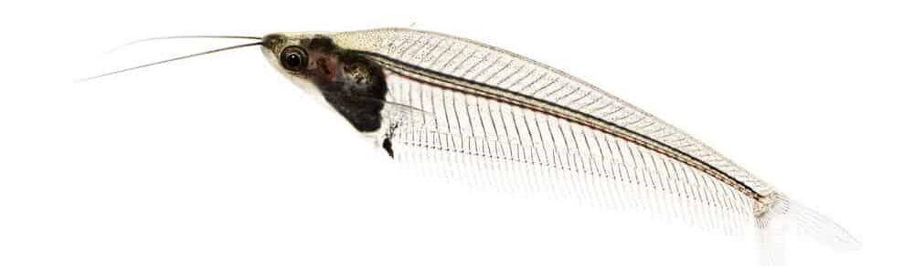 glass fish isolated e1591111768392