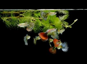 guppy grass and fishes e1591166338876