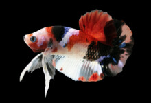 What is a Koi Betta? – Information