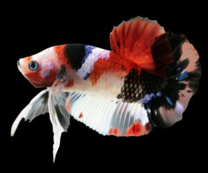 koi betta amazing e1591115895471