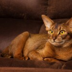 Abyssinian Cat Care Guide & Price