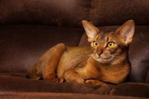 Abyssinian Cat Care Guide Price e1595437401753