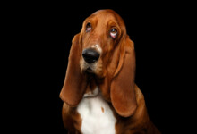 Are Basset Hounds Hypoallergenic? Do They Shed a Lot?