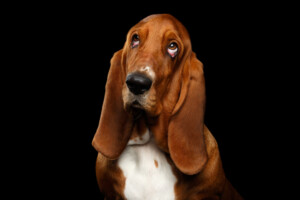 Are Basset Hounds hypoallergenic Do they shed a lot