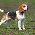 Are Beagles Hypoallergenic? Do They Shed a Lot?