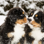 Are Bernese Mountain Dogs Hypoallergenic? Do They Shed a Lot?