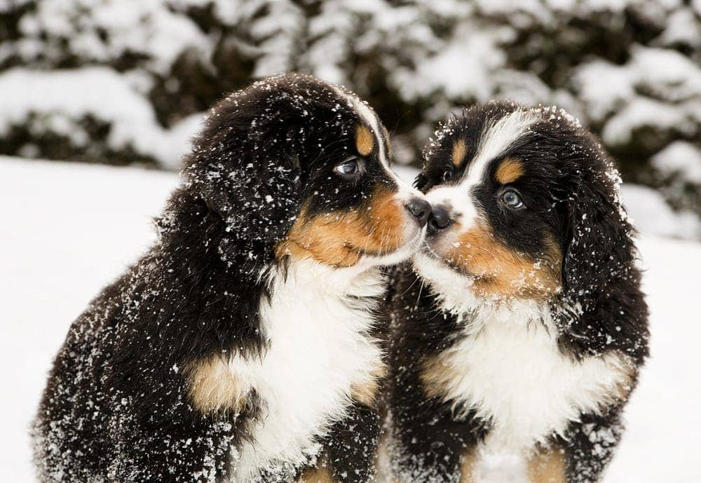 Are Bernese Mountain Dogs hypoallergenic Do they shed a lot
