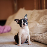 Are Boston Terriers Hypoallergenic? Do They Shed a Lot?