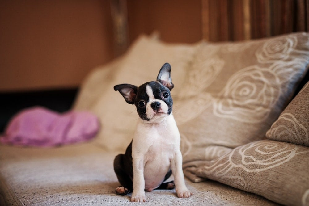 Are Boston Terriers hypoallergenic Do they shed a lot