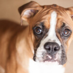 Are Boxers Hypoallergenic? Do They Shed a Lot?
