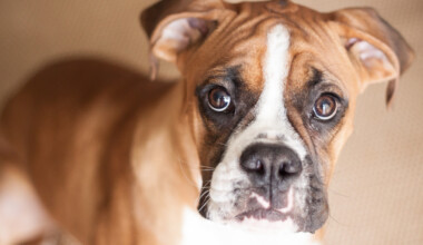Are Boxers hypoallergenic Do they shed a lot