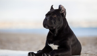 Are Cane Corso hypoallergenic Do they shed a lot