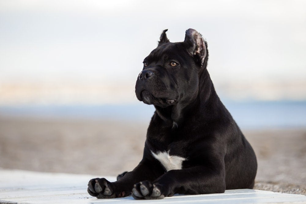 Is Cane Corso Hypoallergenic? Do They Shed a Lot?
