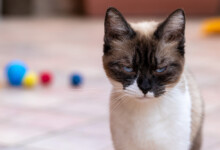 Are Cats in Pain When They Are In Heat?