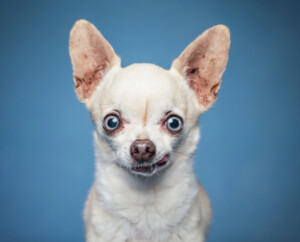 Are Chihuahuas hypoallergenic Do they shed a lot