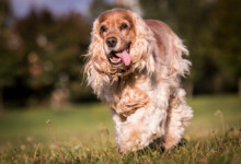 Are Cocker Spaniels Hypoallergenic? Do They Shed a Lot?