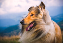 Are Collies Hypoallergenic? Do They Shed a Lot?