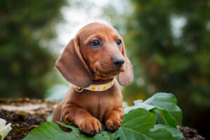 Are Dachshunds hypoallergenic Do they shed a lot