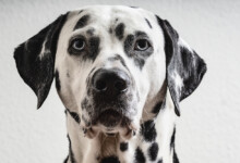 Are Dalmatians Hypoallergenic? Do They Shed?