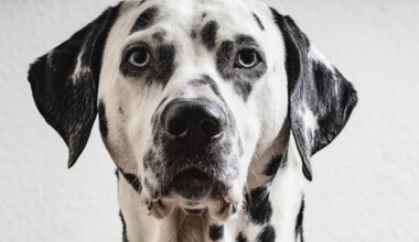 Are Dalmatians hypoallergenic Do they shed a lot