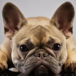 Are French Bulldogs Hypoallergenic? Do They Shed a Lot?