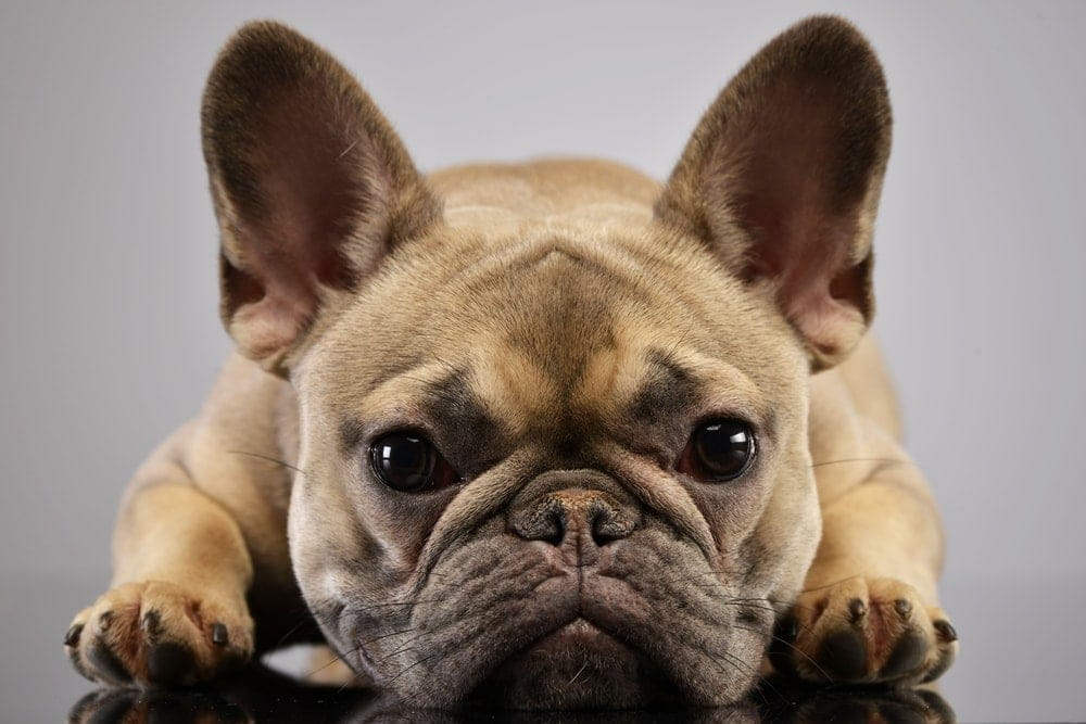 Are French Bulldogs hypoallergenic Do they shed a lot